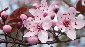 cherry plum fiore